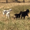 Mixed gender & size goats