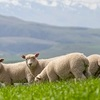 Mecardo Analysis - Kiwi's have fewer lambs but most still to come