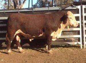 Sevenbardot Hereford's to $16,000 twice
