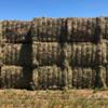 Lentil Hay - 17.4 % Protein