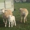 caring after unwanted lambs, alpaca, calfs & animals