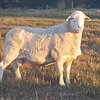 Australian White Ram