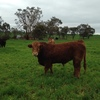 2 yo Poll Limousin Bull Ready to Work!