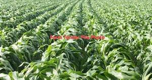 35mt Sorghum Grain