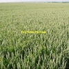 Standing Frosted Beaufort Wheat For Sale Upto 1,200 Acres