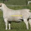 WANTED Dorper X Lambs 32-38kgs