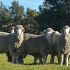 Gullengamble Poll Merinos average a healthy $2284