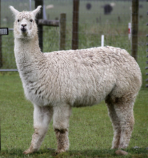 Alpaca Wanted to Buy