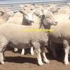 250 x Composite X Lambs.