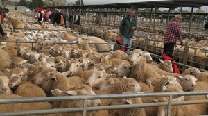 The trend was cheaper for both Sheep and Lambs at Bendigo