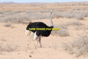 1 Breeding Pair of Blue Neck Ostriches