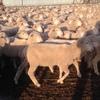 Merino Dohne Wether Lambs  x 1,100 Head