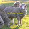 WANTED - 40 to 50 superfine Merino Young Ewes or Ewe Lambs