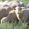 200 Sept 14 Drop Maiden Merino Ewes