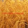 200/mt of ASW Wheat