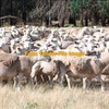 700 Dorper Ewes  with 25% lambs at foot