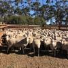 400 Joined Multimeat/Dorset Ewes
