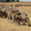 Mutton exports surge as Lamb recovers