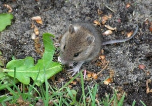 Grain Growers urged to tackle mice early