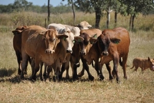 Grain-fed accounts for 40% of Australia's total Beef production