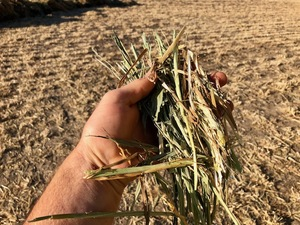 Wheaten hay.