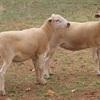 Aussie white/Wiltipoll weaner ewe lambs