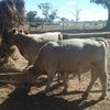 17 Month old Murray Grey Bulls For Sale