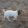 Boer goats for sale 3 male and 1 female