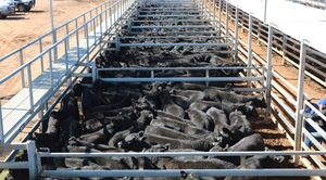 Mecardo Analysis - Cattle price support dries up.