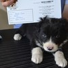Purebred Border Collie Pups longhaired