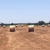 Pea Hay - 300 Rolls of Pea Hay 5x4 & Wrapped New Season- 310 KG Approx Rolls.