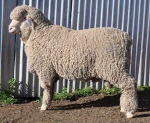 Grathlyn and Lynford Merino's to $8500