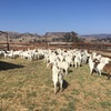 BoerX Wethers For Sale