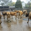 110 Jersey Dairy Heifers For Sale