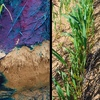 We look at controlling Brome Grass on water-repellent soils