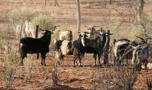 Goats - wild