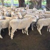 86 WS x M mixed age ewes SIL 114% to Southdown rams