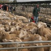 Competition on both Lambs and Sheep intensified at Bendigo