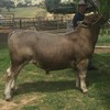 Murray Grey Bull 2 Year Old