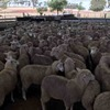 300 mixed sex second cross lambs