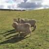 MERINO EWES in LAMB X 24
