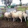 White Suffolk Ram Lambs