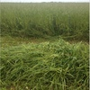 Clover & Rye Silage 60/40% Approx  6x4x3- 1300 x 800 KG Approx Bales.