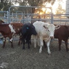 Steers  7 Shorthorn and 6 Angus