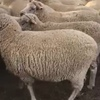 160 Dohne Ewes For Sale joining