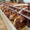 Mecardo Analysis - Restocker behaviour and the cattle cycle
