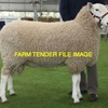 Border Leister Rams Wanted 2- 3 Yrs Old