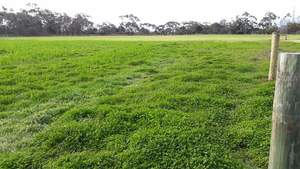 Standing balansa clover / wheat for sale as silage available mid Oct