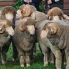 Grassy Creek Merino Rams to $6500