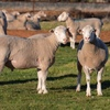 2018 Drop Poll Dorset Rams for Sale